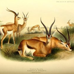 Grant's Gazelle Illustration by J. Smit