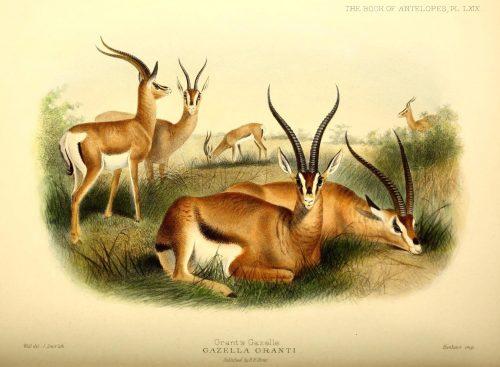 Grant's Gazelle Illustration by J. Smit