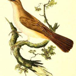 The Common Nightingale Illustration