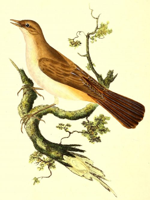 The Common Nightingale Illustration