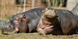 The Hippopotamus Poem